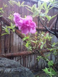 庭志から庭師へ-淀川ツツジ